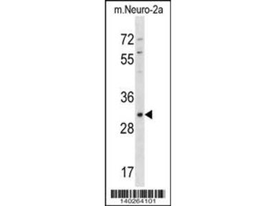 Mouse Xaf1 Antibody (Center)