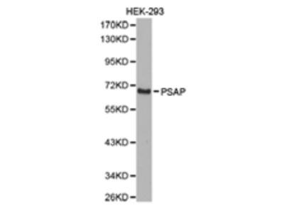 PSAP Antibody