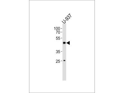 CD153 Antibody