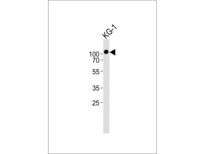CD34 Antibody (C-term)