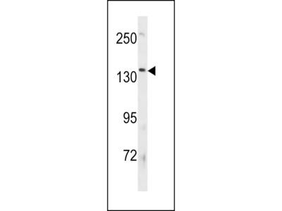 ATP8B3 Antibody (N-term)