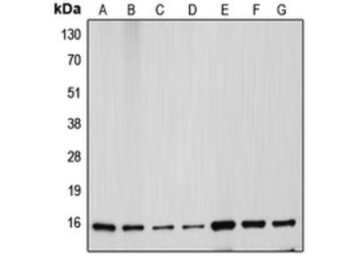 Anti-Cytochrome c Antibody