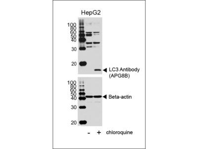 LC3 Antibody (APG8B) (N-term)