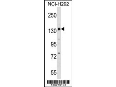 PER1 Antibody (C-term)