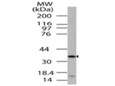 LST8/GBL Polyclonal Antibody