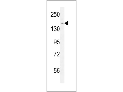 PPRC1 Antibody (C-term)