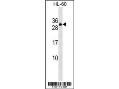 PTPRCAP Antibody (Center)