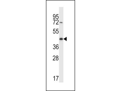 CREG2 Antibody (C-term)
