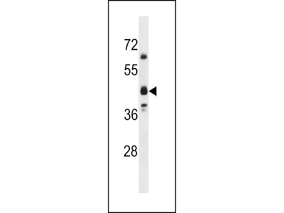 OR5M8 Antibody (C-term)