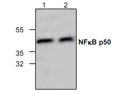 NFkB p50 Antibody