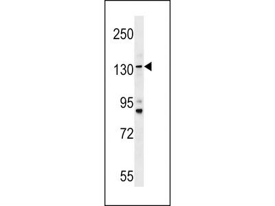 TMC5 Antibody (Center)