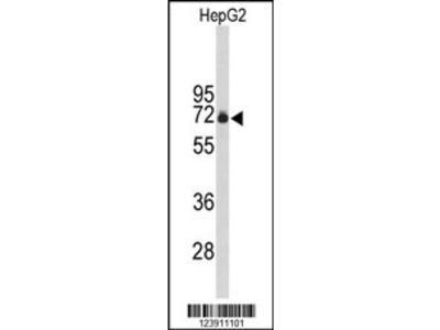 FBXO3 Antibody (C-term)