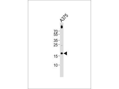 GRO Alpha antibody