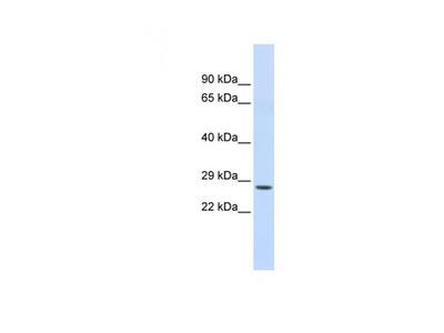 Chymotrypsin C antibody