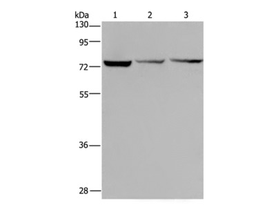 KLHL9 Polyclonal Antibody