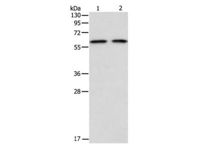 ADAM2 Polyclonal Antibody