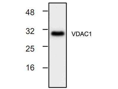 VDAC / Porin Antibody