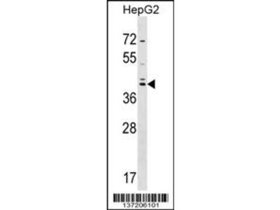 SOX7 Antibody (C-term)