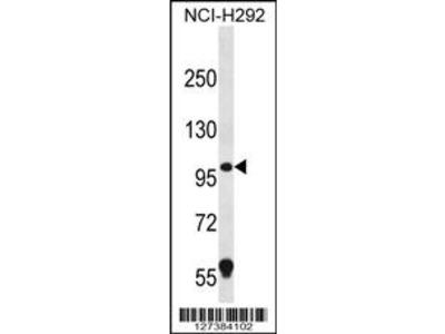 PION Antibody (C-term)