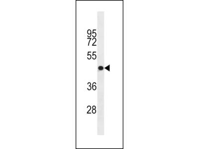 OR4S1 Antibody (C-term)