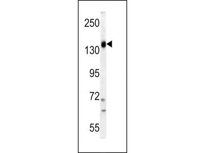 PI3KCG Antibody (C-term)