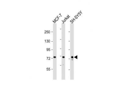 KIF22 Antibody (Center)