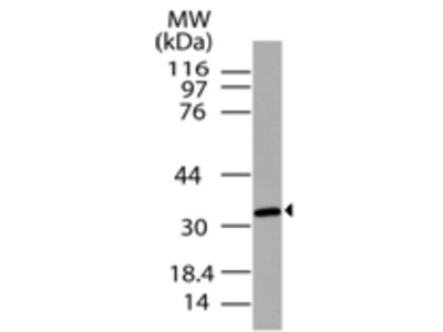 C5L2/GPCR77 Polyclonal Antibody
