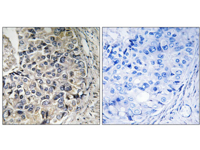 CMC1 antibody