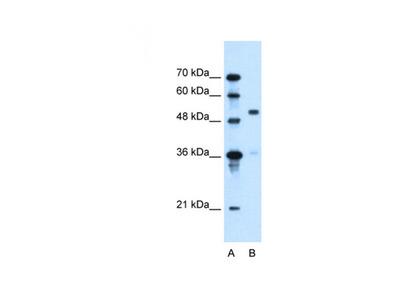 SLC37A3 antibody