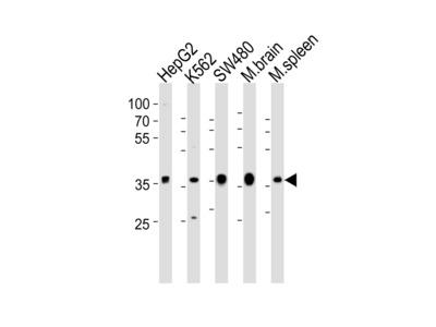 NAPG Antibody (Center)