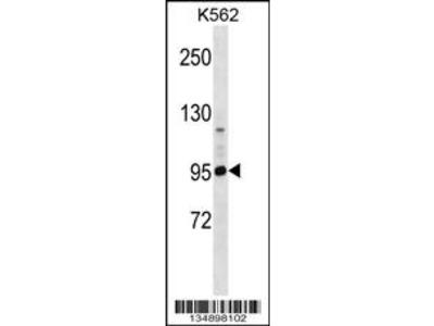PCDHA4 Antibody (C-term)