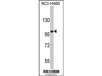 EPB41L4B Antibody (C-term)
