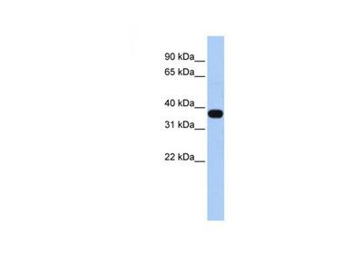 C1ORF166 antibody