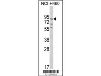 MyoGEF Antibody (N-term)