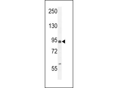 EFHB Antibody (N-term)