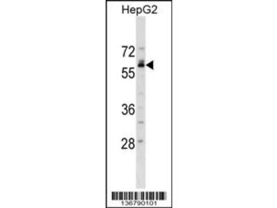 NFIB Antibody (Center)
