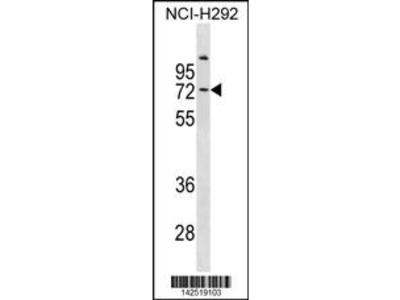 COL9A3 Antibody (Center)