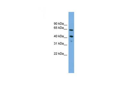 ATP8B2 antibody