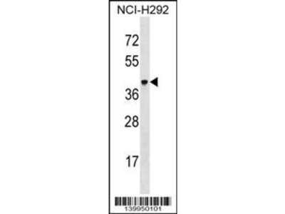 VSIG4 Antibody (C-term)