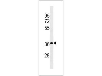 PSG4 Antibody (N-term)
