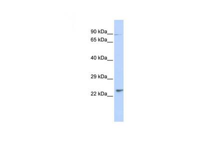 LRRC51 antibody
