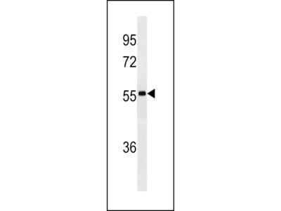 lgA Antibody (Center) (Ascites)
