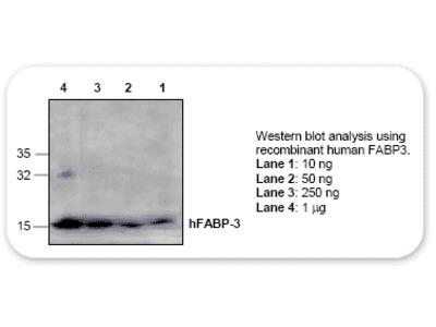 FABP3 Antibody