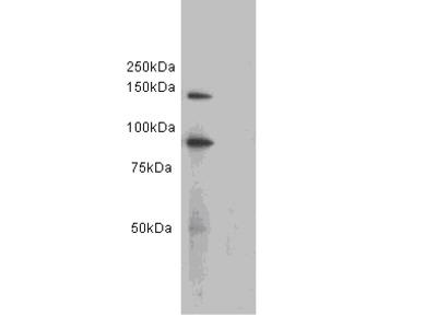 CD34 Antibody