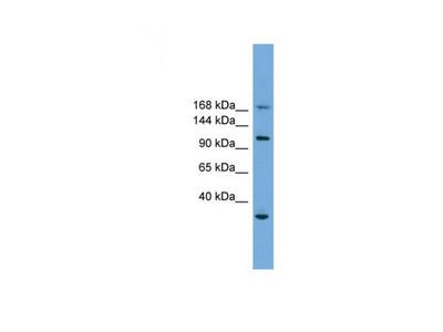 PHLDB1 antibody
