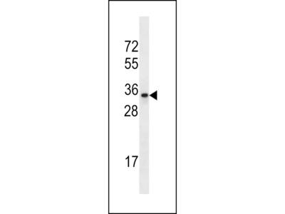 OR2A42 Antibody (C-term)