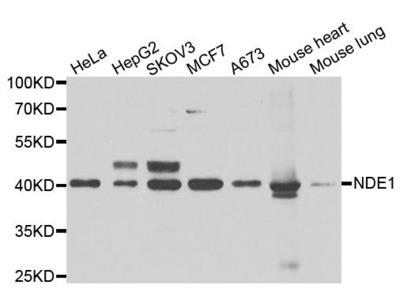 NDE1 Polyclonal Antibody