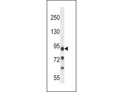 KIAA1274 Antibody (C-term)