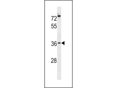 POPD3 Antibody (C-term)