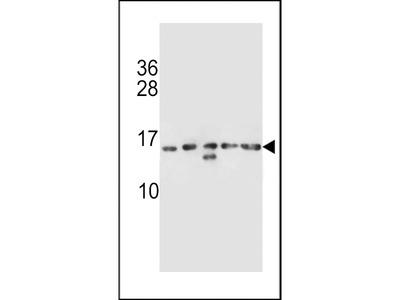 HIST1H2AB Antibody (N-term)